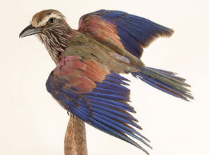 MASAI GALLERY - rollier d'abyssinie - Oiseau