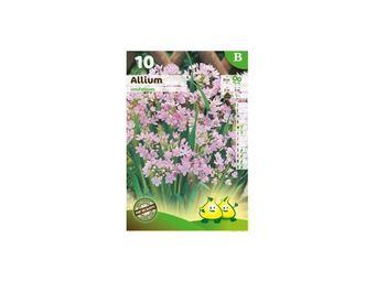 LES DOIGTS VERTS - bulbe allium unifolium x10 - Bulbes De Fleurs
