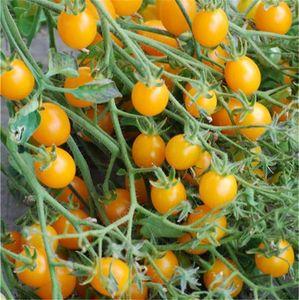 FERME DE SAINTE MARTHE - tomate cocktail clémentine ab - Semence