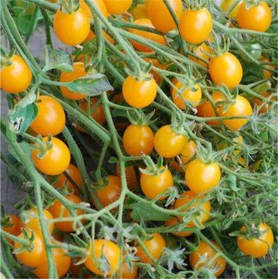 FERME DE SAINTE MARTHE - Semence-FERME DE SAINTE MARTHE-Tomate cocktail clémentine AB