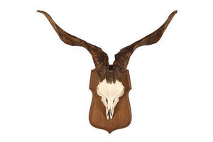 MASAI GALLERY - chèvre sauvage - Wall Mounted Antler
