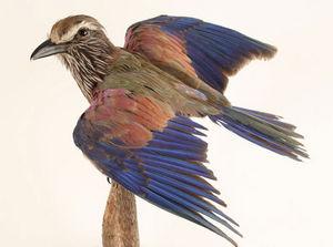 MASAI GALLERY - rollier d'abyssinie - Bird