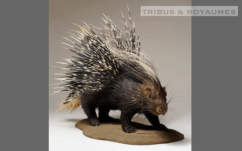 TRIBUS & ROYAUMES Ausgestopftes Tier Taxidermie und Jagdtrophäe Verzierung   