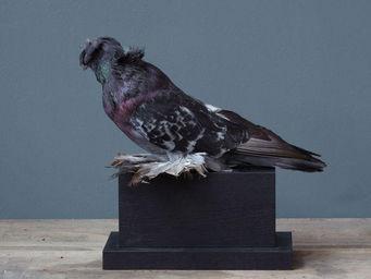 Objet de Curiosite - pigeon d'ornement tambour sur socle rect bois - Ausgestopftes Tier