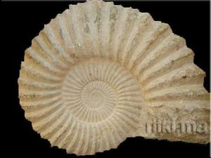 Minéraux et fossiles Rifki - ammonite naturelle - Fossilie