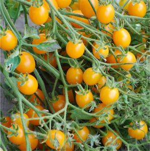 FERME DE SAINTE MARTHE - tomate cocktail clémentine ab - Semilla