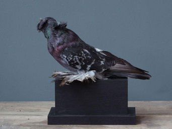 Objet de Curiosite - pigeon d'ornement tambour sur socle rect bois - Animale Imbalsamato