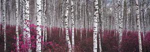 Nouvelles Images - affiche forêt de bouleaux chine - Poster